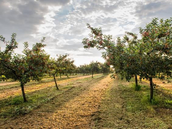 landwirtschaftliche Fläche, Streuobstwiese, Obstbäume, Foto: iStock/fotokostic