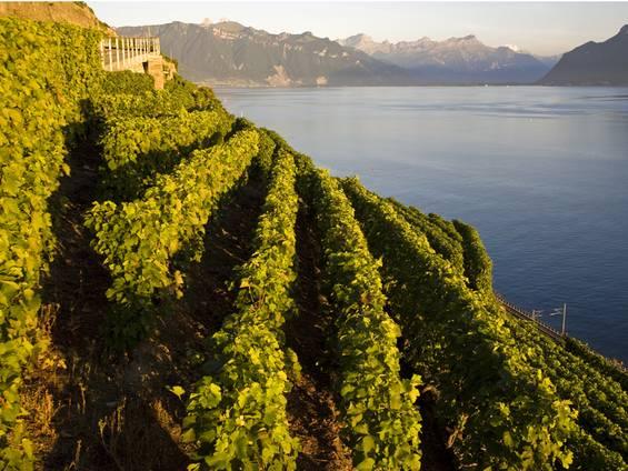 Weingut kaufen, Weinberg, Steilhang, Foto: iStock/ LucynaKoch