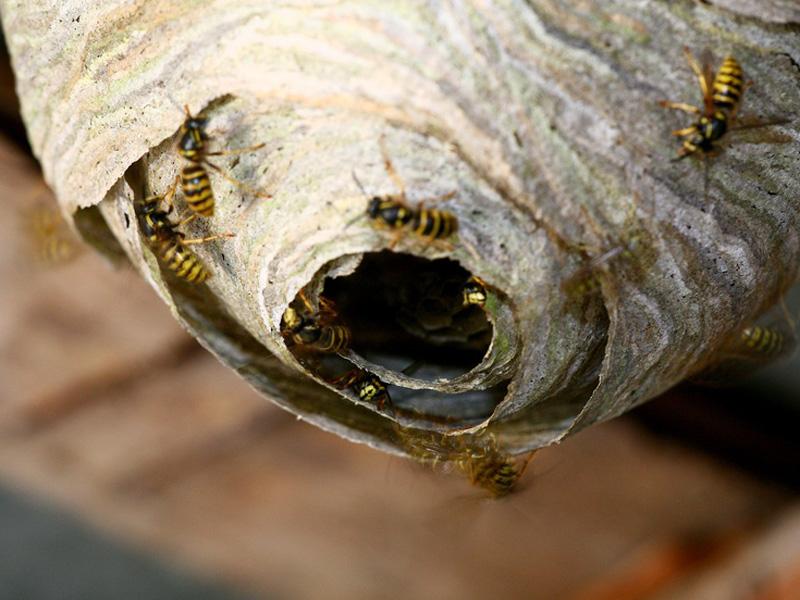 wespennest tipps zum umgang mit wespen wespennest entfernen. Black Bedroom Furniture Sets. Home Design Ideas